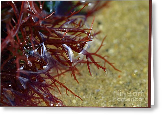Tidepool Seaweed Greeting Card