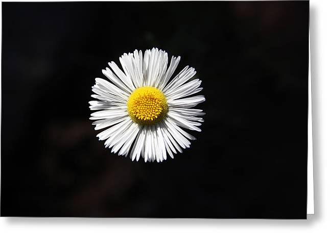 Tidy Fleabane Greeting Card by Charles Ables