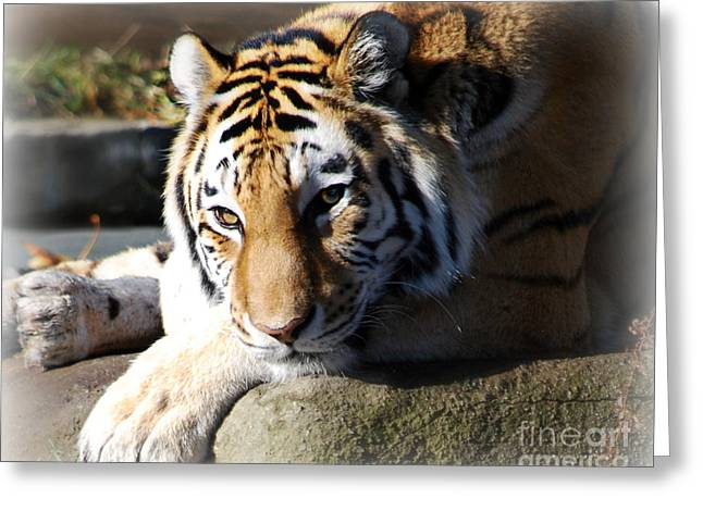 Greeting Card featuring the photograph Tiger At Cleveland Zoo by Lila Fisher-Wenzel