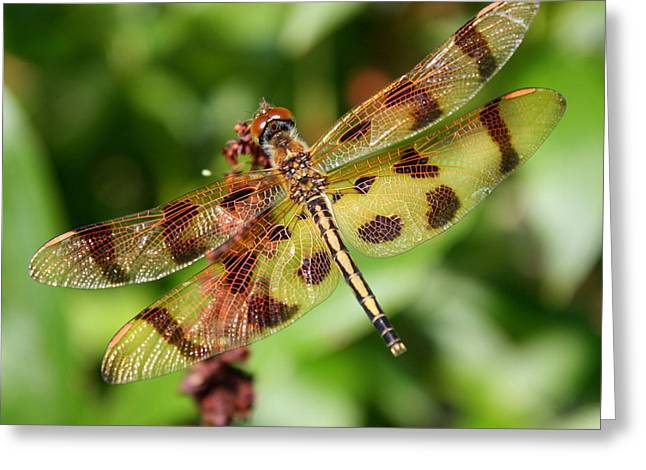 Tiger-striped Dragonfly Greeting Card