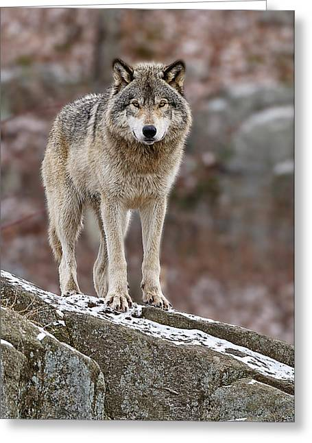 Timber Wolf On Rocks Greeting Card by Michael Cummings
