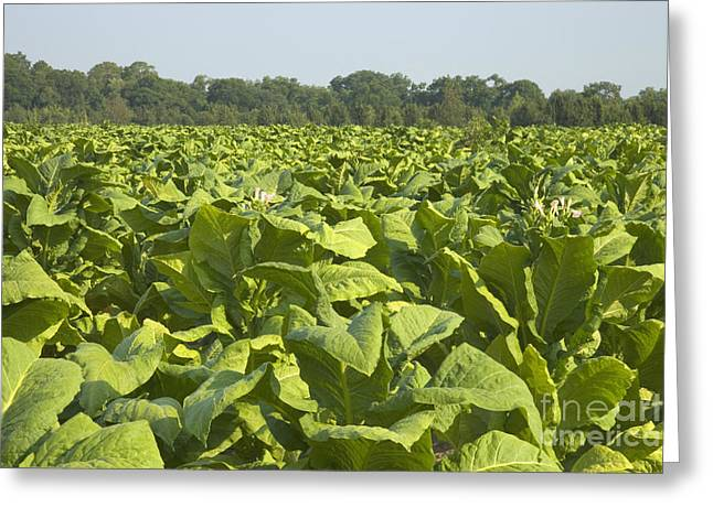 Tobacco Field Greeting Card by Inga Spence