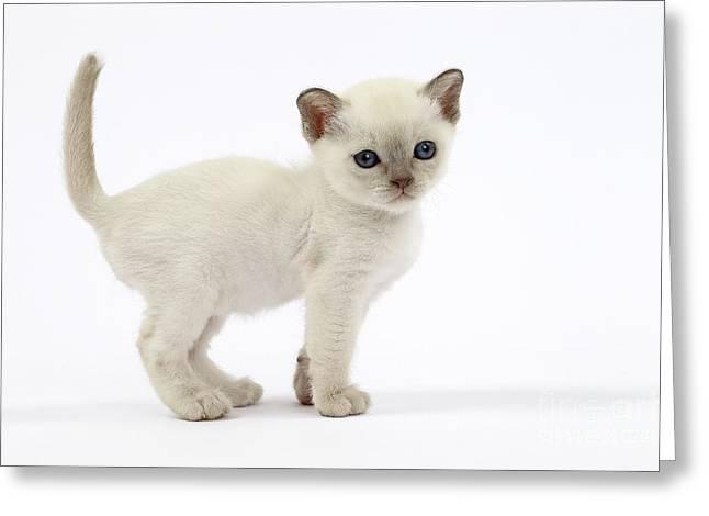 Tonkinese Kitten Greeting Card by Jean-Michel Labat