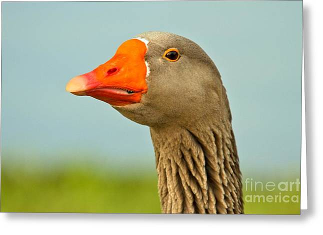 Toulouse Goose Close Up Greeting Card