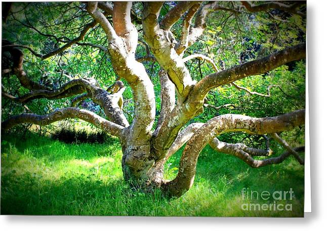 Tree In Golden Gate Park Greeting Card by Carol Groenen