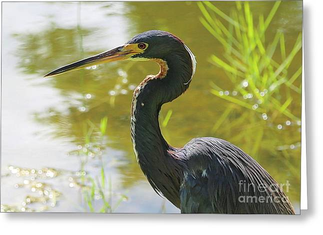 Tricolored Heron By The Pond Greeting Card