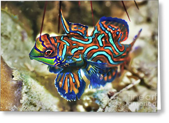 Tropical Fish Mandarinfish Greeting Card by MotHaiBaPhoto Prints