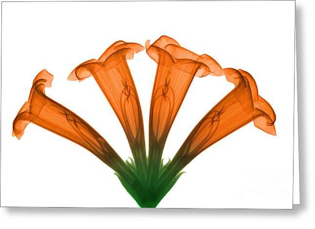 Trumpet Vine, X-ray Greeting Card