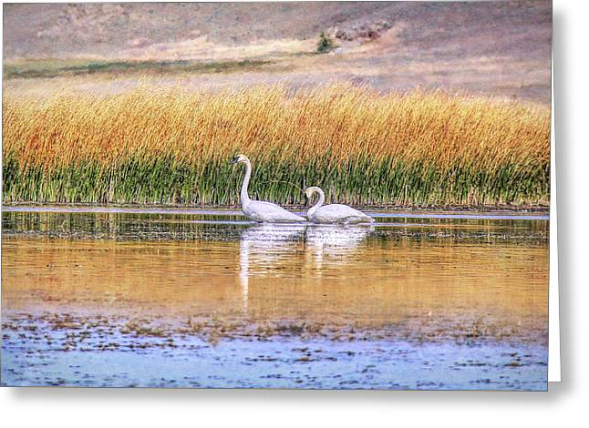 Tranquil Trumpeter Swans Greeting Card by Jennie Marie Schell