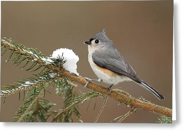 Tufted Titmouse Greeting Card by Alan Lenk
