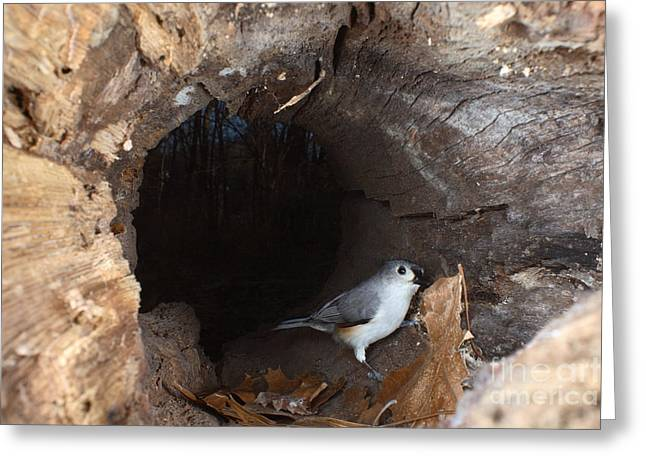 Tufted Titmouse In A Log Greeting Card