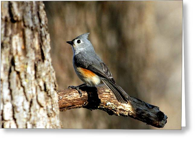 Tufted Titmouse On Branch Greeting Card