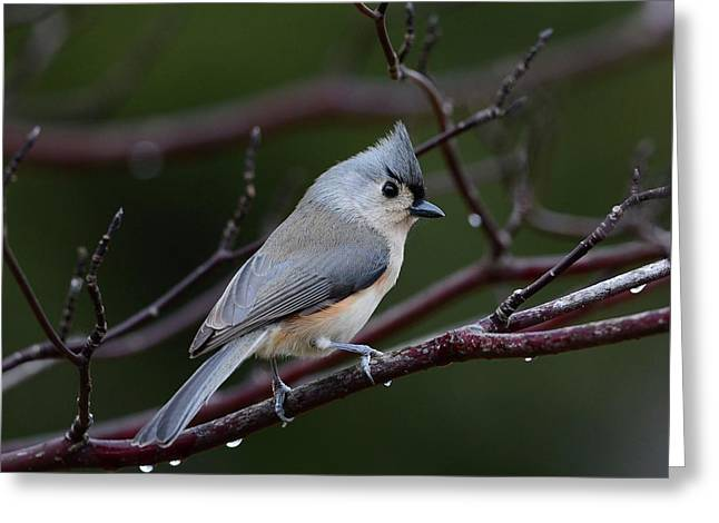 Tufted Titmouse Greeting Card by Todd Hostetter