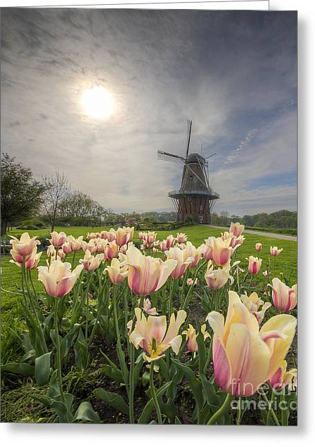 Tulips In Holland Greeting Card