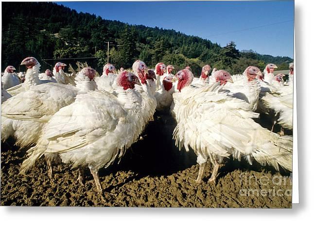 Turkey Flock Greeting Card by Inga Spence