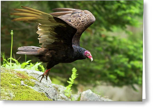 Greeting Card featuring the photograph Turkey Vulture by Mircea Costina Photography