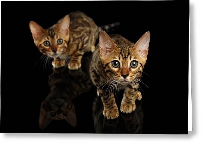 Two Bengal Kitty Looking In Camera On Black Greeting Card by Sergey Taran
