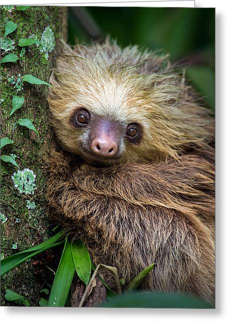 Two-toed Sloth Choloepus Didactylus Greeting Card by Panoramic Images
