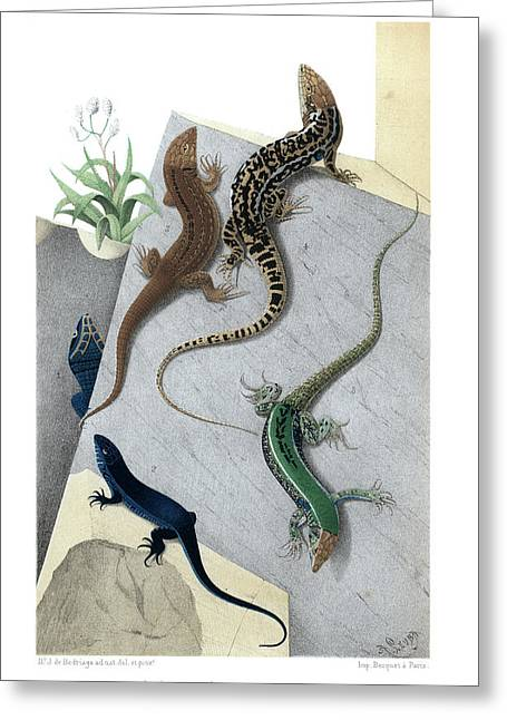 Varieties Of Wall Lizard Greeting Card by Jacques von Bedriaga