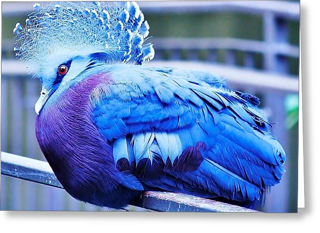 Victoria Crowned Pigeon Greeting Card