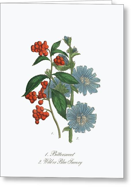 Victorian Botanical Illustration Of Bittersweet And Blue Succory Greeting Card by Peacock Graphics