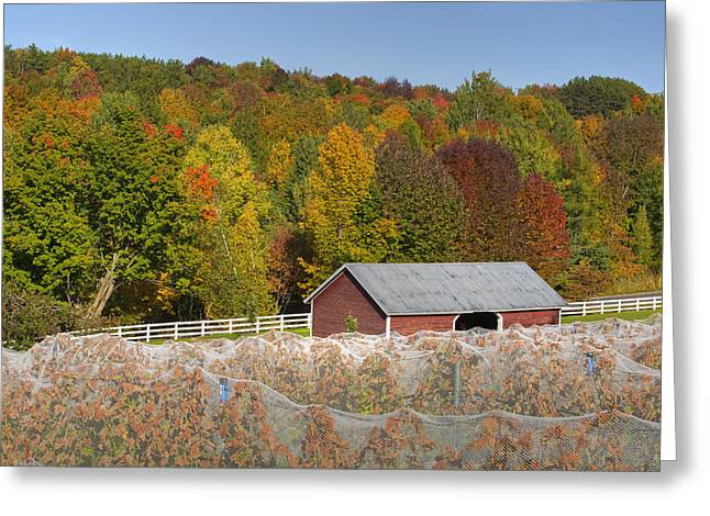 Vineyard In Autumn  Knowlton, Quebec Greeting Card by David Chapman