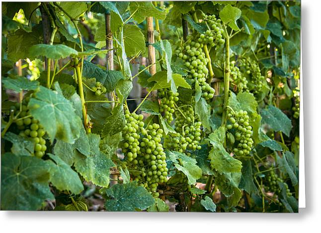 Vineyard Greeting Card by Jen Morrison