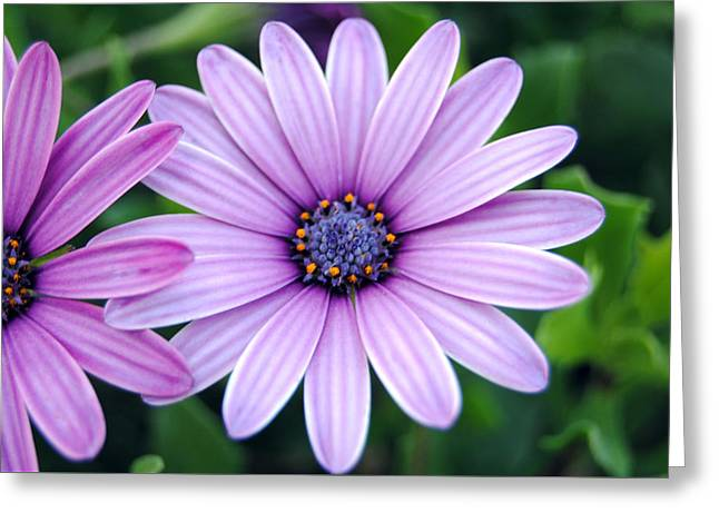 The African Daisy 3 Greeting Card