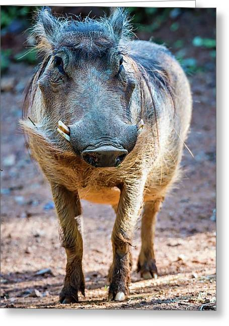 Wart Hog Portrait Looking Straight At Camera Greeting Card by Alex Grichenko