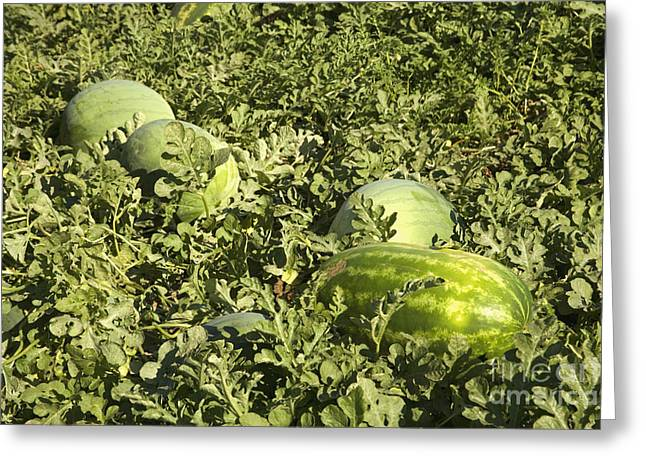 Watermelons In A Field Greeting Card by Inga Spence
