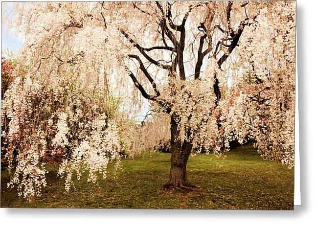 Weeping Cherry Tree Greeting Card by Jessica Jenney