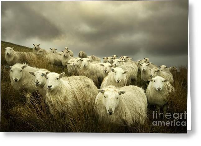 Welsh Lamb Greeting Card by Angel  Tarantella