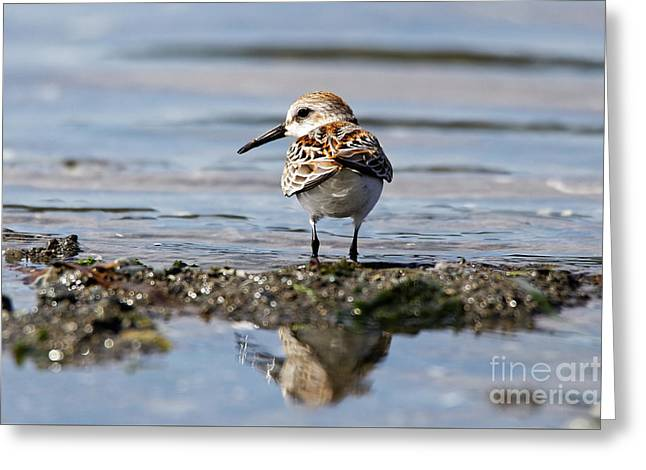 Greeting Card featuring the photograph Western Sandpiper by Sue Harper