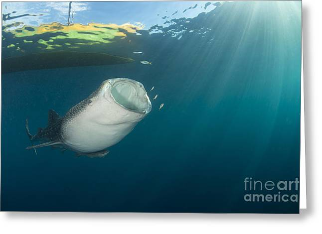 Whale Shark Coming Up From The Depths Greeting Card by Mathieu Meur