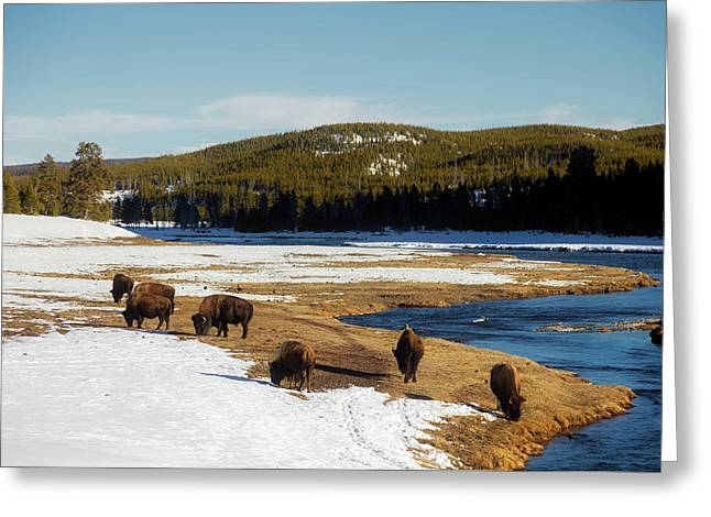 Where The Buffalo Roam Greeting Card by L O C