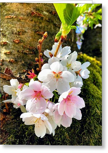 White Apple Blossom In Spring Greeting Card