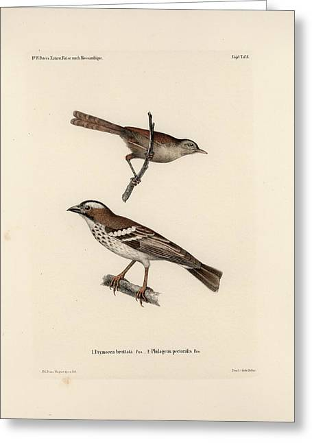 White-browed Sparrow-weaver And Grass Or Bush Warbler Greeting Card by J D L Franz Wagner
