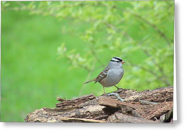 White Crowned Sparrow Greeting Card by Rosanne Jordan