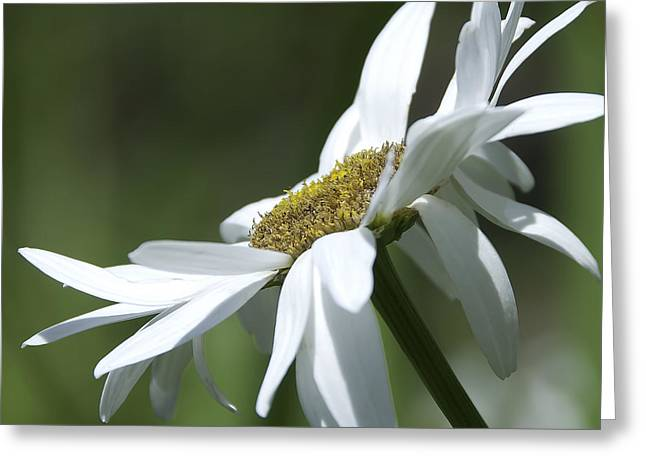 White Daisy Greeting Card by Svetlana Sewell