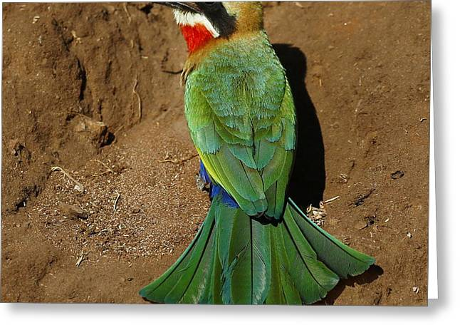 White Fronted Bee-eater Greeting Card