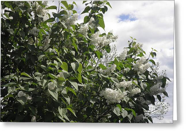 White Lilacs Greeting Card