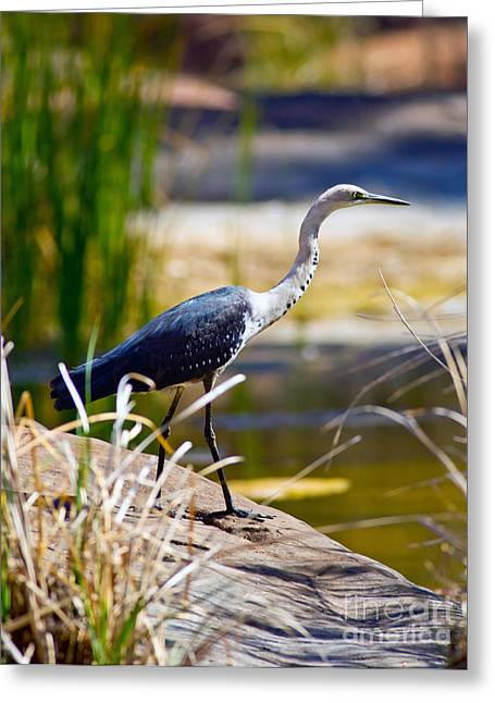 White Neck Heron Greeting Card by Bill  Robinson