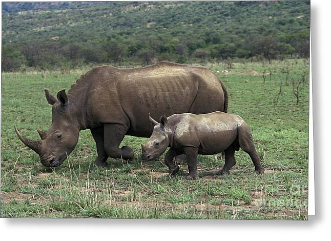 White Rhinoceros Female And Young Greeting Card by Gerard Lacz