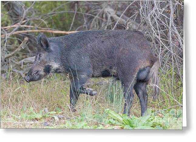 Wild Boar - Sus Scrofa - In Alert. Santa Clara County, California, Usa Greeting Card by Yuval Helfman