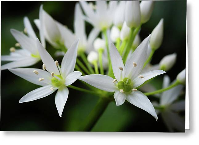 Wild Garlic Greeting Card