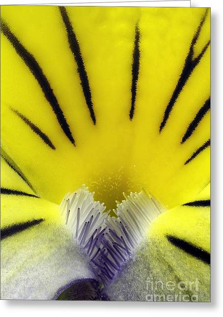 Wild Pansy Viola Tricolor Flower Greeting Card by Jerzy Gubernator