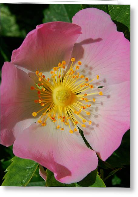 Wild Rose Greeting Card by Marilynne Bull