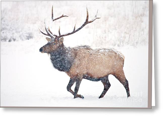 Winter Bull Greeting Card by Mike Dawson