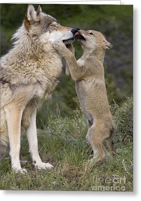 Wolf Cub Begging For Food Greeting Card by Jean-Louis Klein & Marie-Luce Hubert