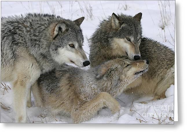 Wolf Social Behavior Greeting Card by Jean-Louis Klein & Marie-Luce Hubert